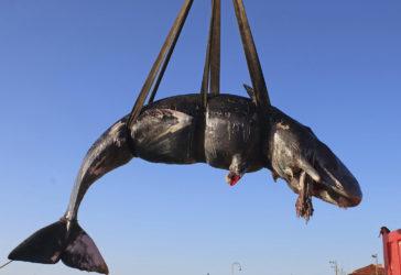 APTOPIX Italy Dead Whale